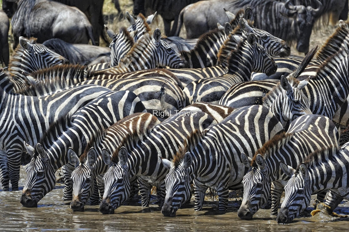 Zebras Drinking at the Watering Hole Serengeti